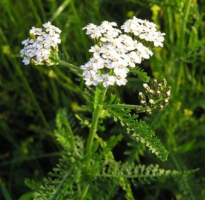 Quelle: http://www.naturalium.de/Bluetenpflanzen/Gem%20Schafgarbe%201.jpg